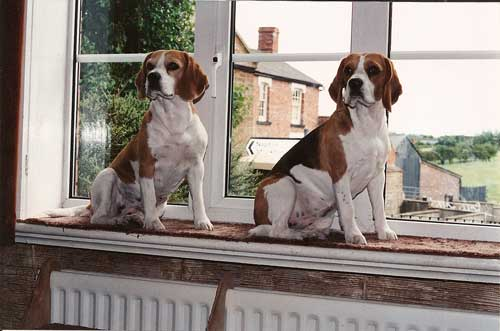 Beagles in Window